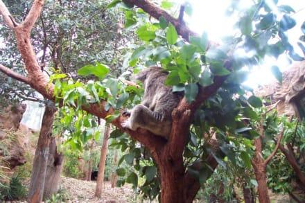 Koala im Eukalyptusbaum - Wildlife World