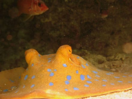 Blaupunktrochen am Hausriff Hotel Carnelia Beach Resort - Tauchen Marsa Alam