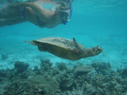 Meine Freundin die Schildkröte - Schnorcheln Süd-Malé-Atoll