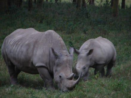 Nashörner - Lake Nakuru Nationalpark