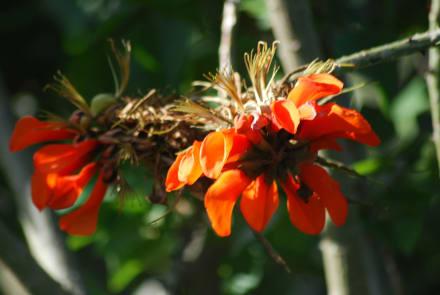 Blüte - Botanischer Garten Kirstenbosch
