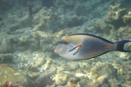 Sohal-Doktorfisch - Schnorcheln Hurghada