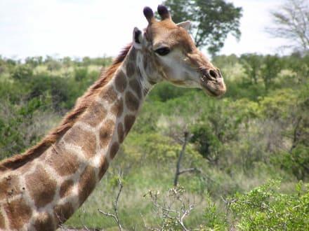 Giraffen direkt neben unserem Jeep - Krüger Nationalpark