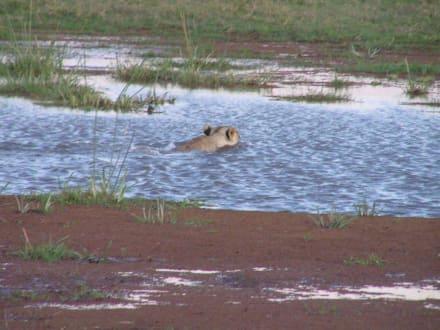 schwimmender  Löwe - Amboseli Nationalpark