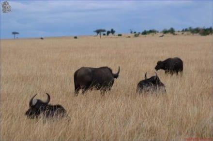 Büffelherde - Kenia - Masai Mara Safari