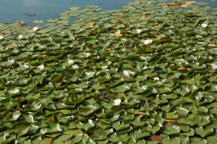 Seerosen - Bledersee