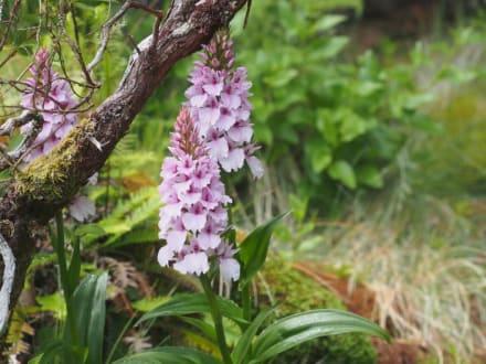 Madeira-Knabenkraut, eine wilde Orchideenart - Madeira Wandern mit Christa