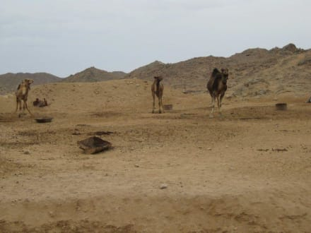 Kamele im Beduinencamp - Quad Tour Hurghada