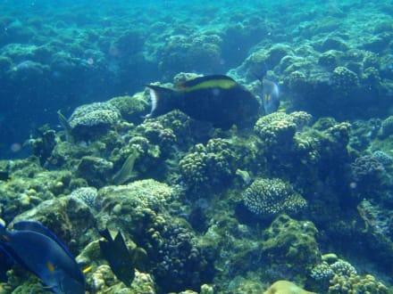 Riffe/Korallen - Tauchen Sharm el Sheikh