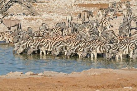 Zebras am Okaukuejo-Wasserloch - Etosha Nationalpark