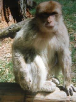Berber Äffchen - Affenberg
