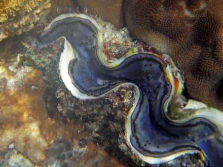 Riesenmuschel - Schnorcheln Sharm el Sheikh