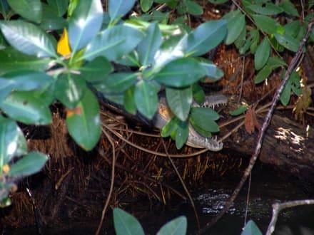 Krokodil versteckt sich - Bootstour Black River