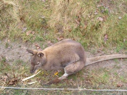 Kangaroo - Zoologischer Garten Prag