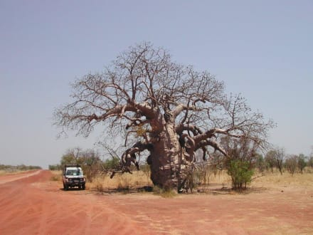 Flaschenbaum / Kimberley - Kimberley