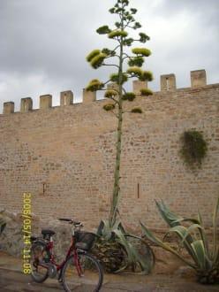 Schöne Ansicht der Stadtmauer von Alcudia - Stadtmauer Alcudia