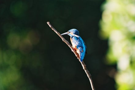 Kingfisher - Zimtkanal
