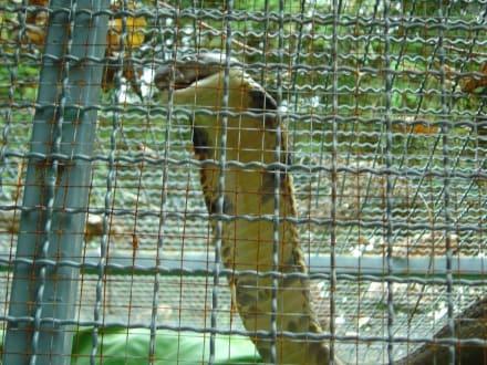 Königskobra - Schlangenfarm