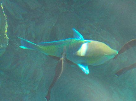 Papageien-Fisch - Schnorcheln Sharm el Sheikh