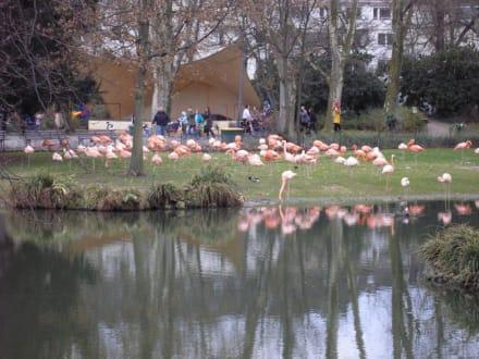 Flamingos am See - Zoologischer Garten Köln