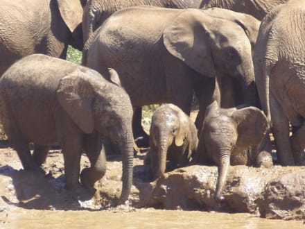 Die Kleinen sind süß! - Addo Elephant Park