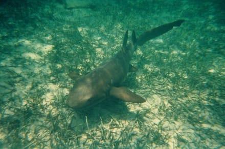 Hai - Schwimmen mit Ammenhaien