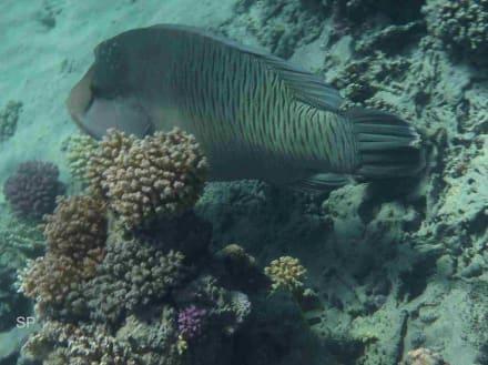 Napoleon Fisch - Schnorcheln Brayka Bay Marsa Alam