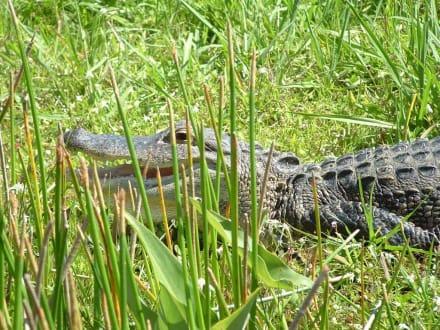 Alligator in den Everglades - Everglades National Park
