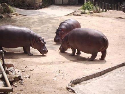 Nilpferde - Khao Kheow Open Zoo