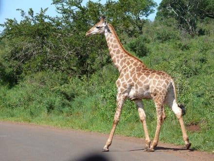 Giraffen kreuzen die Straße - Hluhluwe Game Reserve