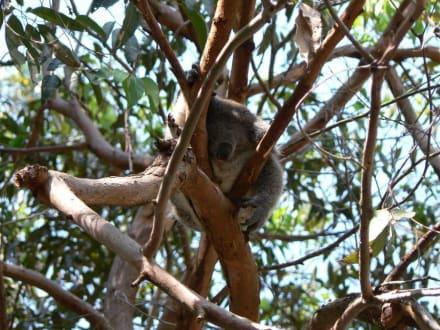 Patient des Koala-Hospitals - Koala Hospital