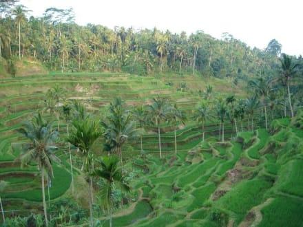 Reisterrassen bei Ubud - Reisterrassen