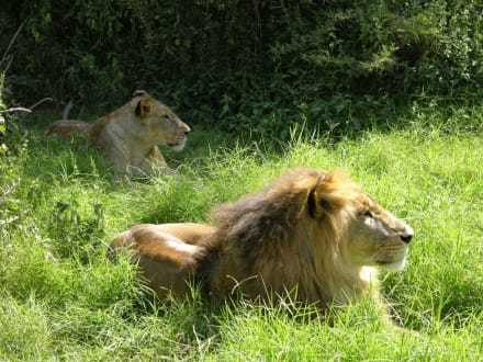 Müde Löwen - Kimana Reservat