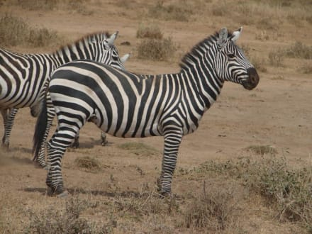 Zebras - Tsavo West Nationalpark