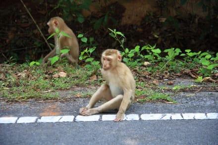 Affen - Khao-Yai Nationalpark