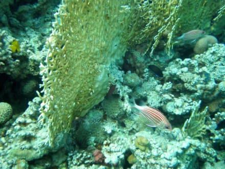 Riffe/Korallen - Tauchen Taba