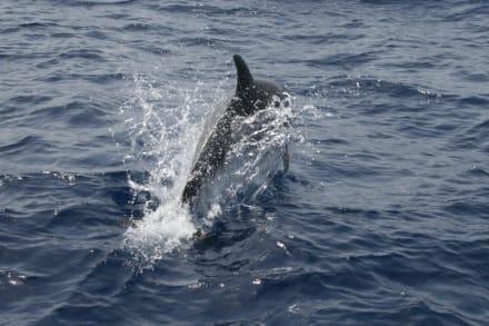 Delphine im Meer beobachten - Delfin Tour Puerto Rico