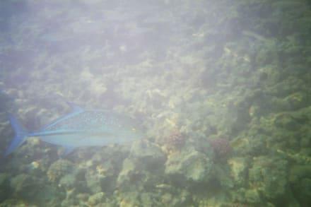 Blauflossenmakrele - Schnorcheln Makadi Bay