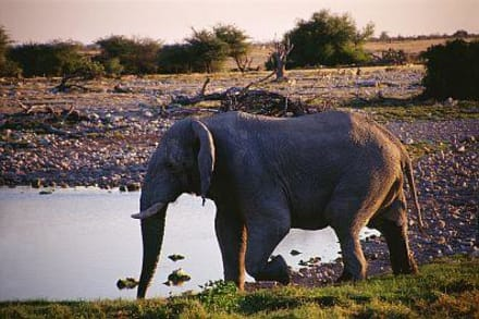 ein Elefant - Etosha Nationalpark