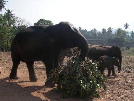 Elefantenwaisenhaus - Elefantenwaisenhaus Pinnawela