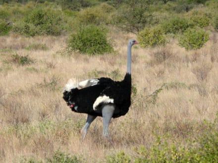 Herr Strauss - Samburu National Reservat