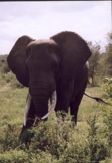 Prächtiger Elefantenbulle - Krüger Nationalpark