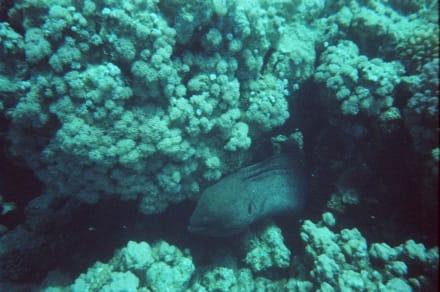 Riesenmuräne - Schnorcheln Hurghada