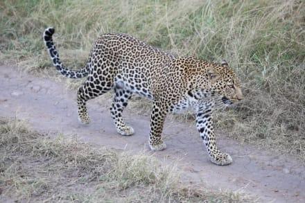 Leopard Masai Mara - D.M.-Tours