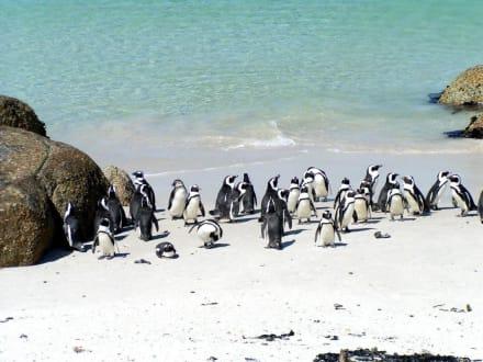 Afrikanische Pinguine - Boulders Beach