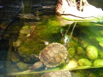 Wasserschildkröte - Bioparco di Roma (Zoologischer Garten)