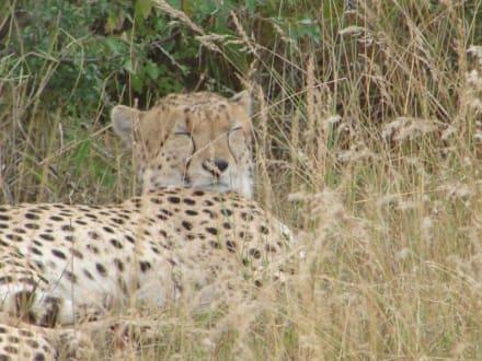 Gephard - Masai Mara Safari