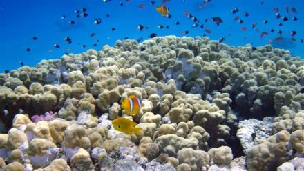 Rotmeeranemonenfisch (Nemo) und div. Arten - Schnorcheln Makadi Bay