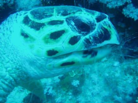 Schildkröte - Tauchen Nabq Bay