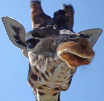 Giraffe - Knies Kinderzoo